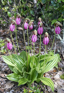 Pink Lady's Slipper clump