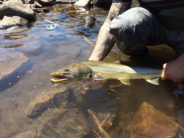 Mckenzie river fishing well spring 2015 the caddis fly for Mckenzie river fishing report