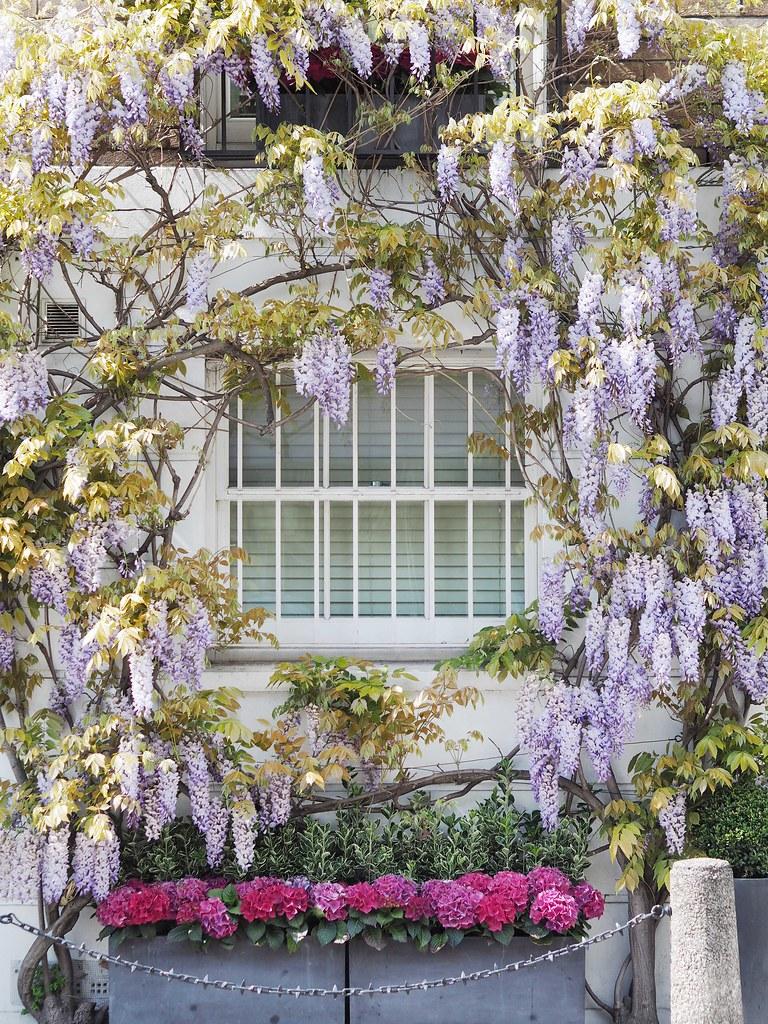 London-wisteria