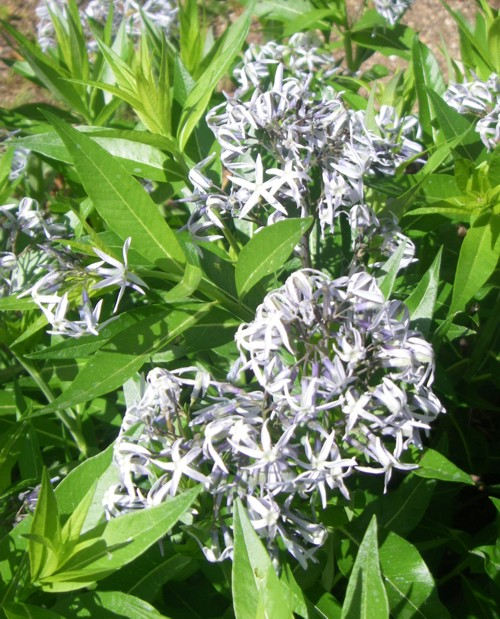 Amsonia orientalis 17637020515_8a6584bb43_o