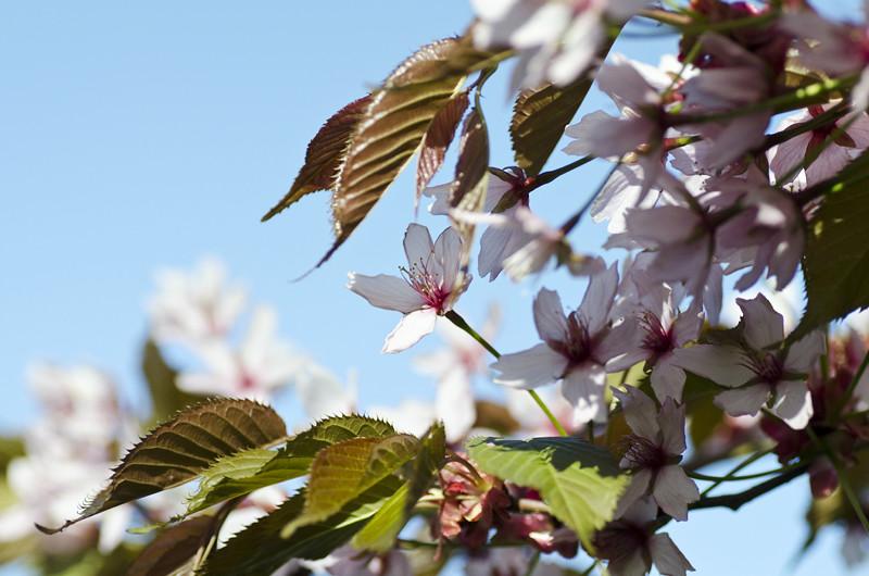 kirsikka5