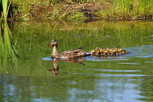 Duck with her Ducklings