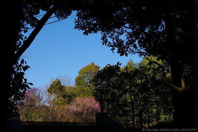 DSC_3368 (editiert): Blühende Kirschbäume am Inari-Schrein, Kyōto, Stadtbezirk Fushimi