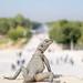 Nonchalant lizard at Persepolis