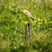 Flauta del Sol / Whistling Heron