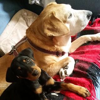My girls, Penny & Sophie #rescueddogsofinstagram #puppiesofinstagram #dogsofinstagram #muttsofinstagram #rescueddog #ilovemydogs #puppygram #dobiemix #houndmix