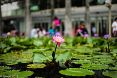 Water Lily in the City