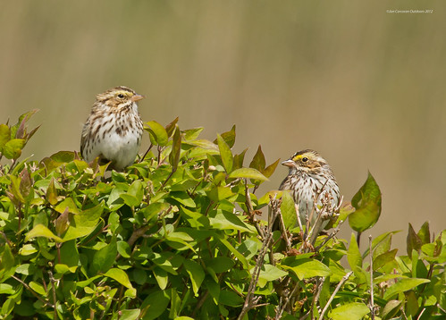 """Eastern"" Savannah Sparrow"