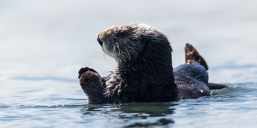 Sea Otters (Enhydra lutris) occupy their usual spot off Target Rock in the harbor just south of Morro Rock. | by mikebaird