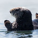 Sea Otters (Enhydra lutris) occupy their usual spot off Target Rock in the harbor just south of Morro Rock.