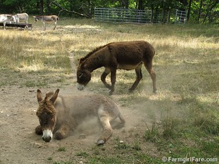 Donkey Doodle Dandy takes a dust bath (1) - FarmgirlFare.com | by Farmgirl Susan