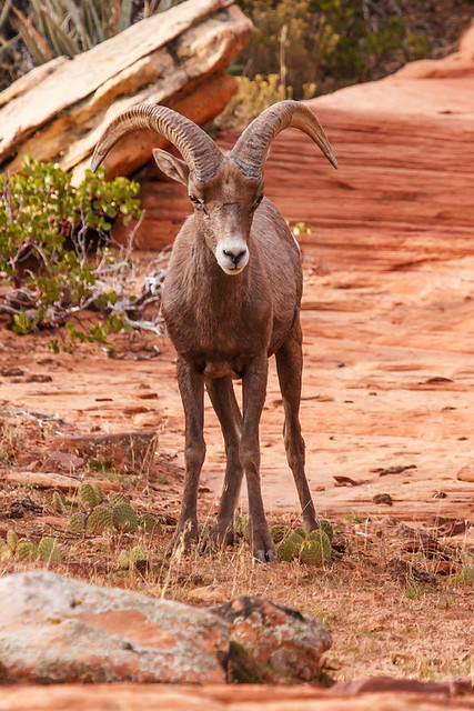 Bring it on bring it on desert big horn sheep zion for Lambs canyon cabins for sale
