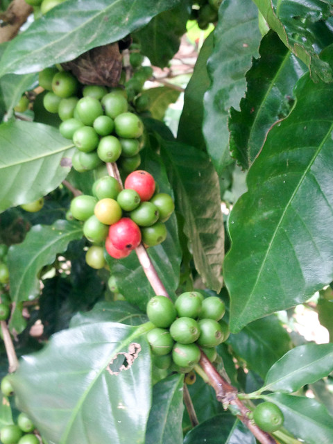 Coffee plants in an organic shade plantation