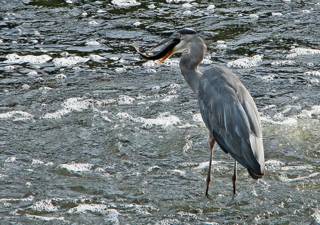 Watertown dam blue heron fishing 11 bill damon flickr for Watertown fishing report