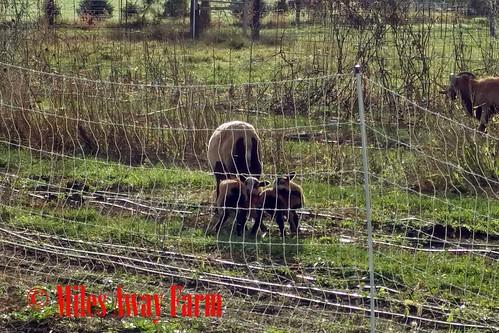 Twin Lamb babies