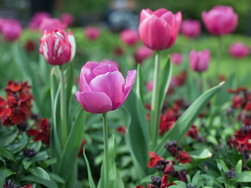 London Tulips... | by Lady Haddon (can't upload images again)