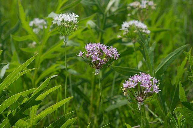 Allium Canadense Allium canadense var. ...