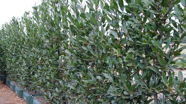 Laurus nobilis bay laurel hedge from twining valley for Alloro siepe
