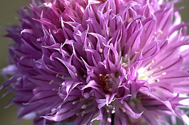 Chives IMG_8360