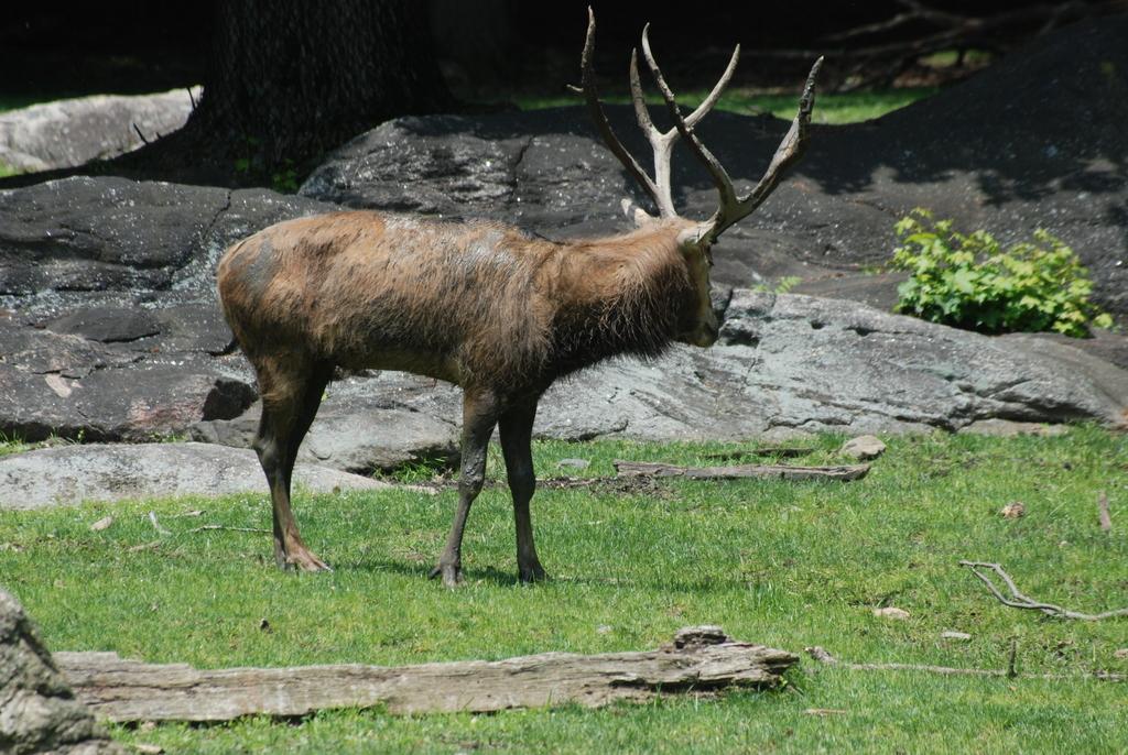 New York - The Bronx - Bronx Zoo - Pere David's Deer (4 ...