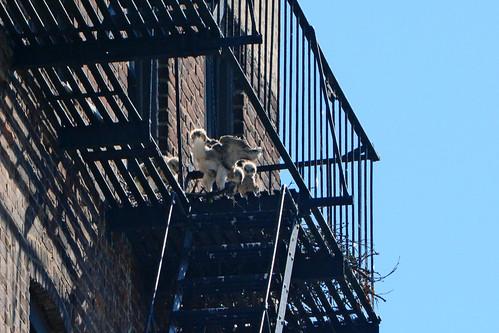 Hawk Nestlings - 1469
