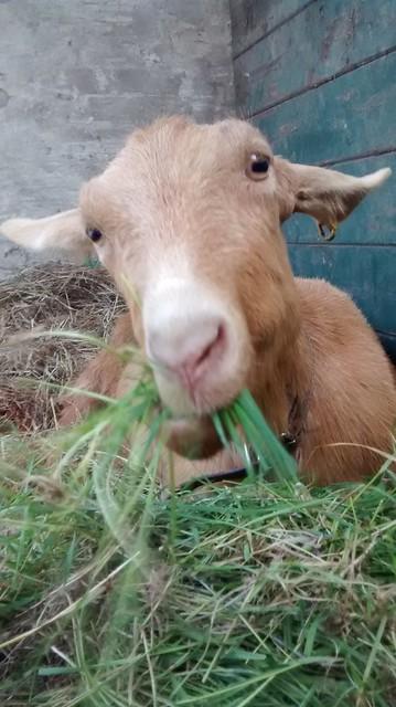 goats May 15 31
