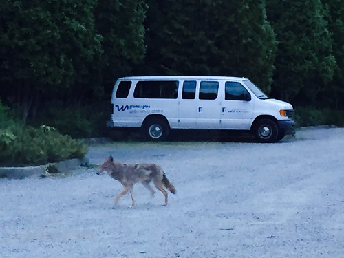Coyote in West Vancouver
