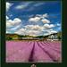 California Series: Lavender & Hawks