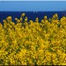 Rape flower on the Baltic Sea