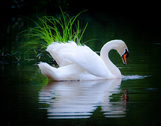 Swan in the Grass | by hosieo