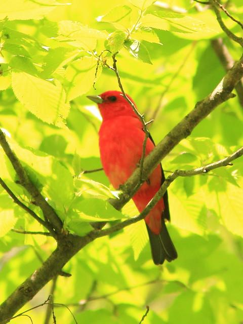 Scarlet Tanager 2-20150521