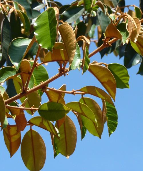 Chrysophyllum oliviforme 30320498441_89c6b1a042_o