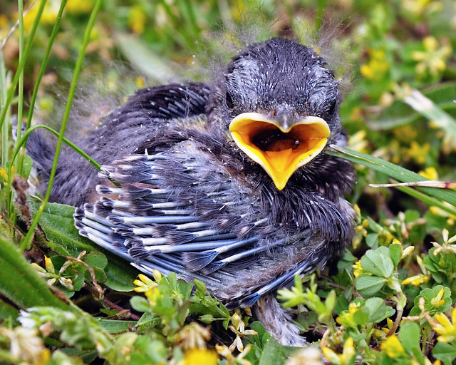 Baby Blue Bird Baby bluebird (10days) angel