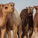 Al Khatim Camels