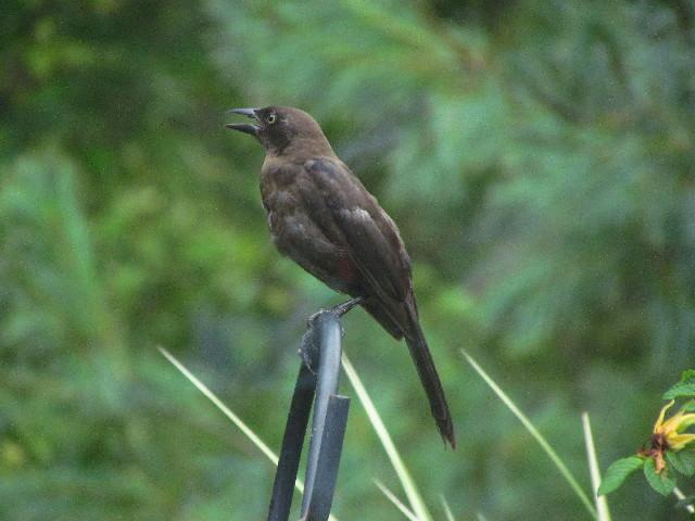 fledgling grackle - photo #28