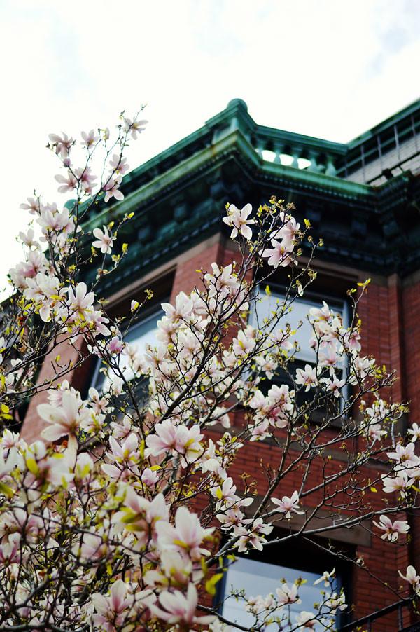 Boston Magnolia Tree