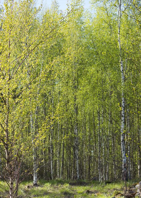 106 av 365 - Lövsprickning