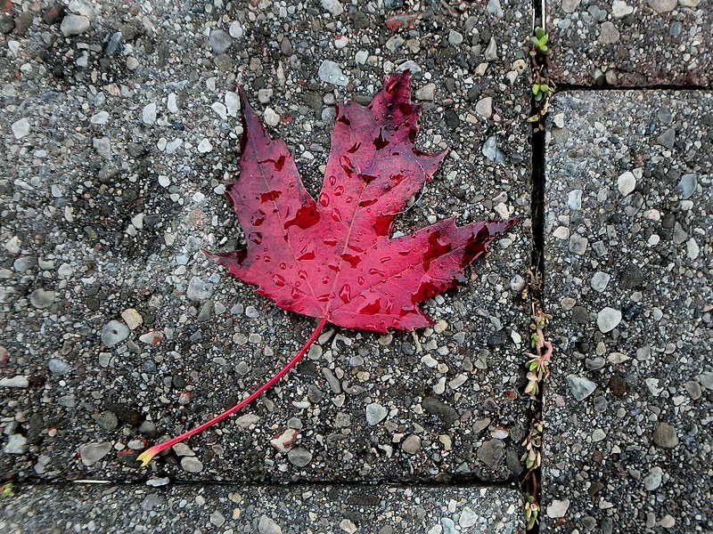 Project 366, Day 298: The Maple Leaf