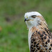 Red-tailed Hawk-7403.jpg
