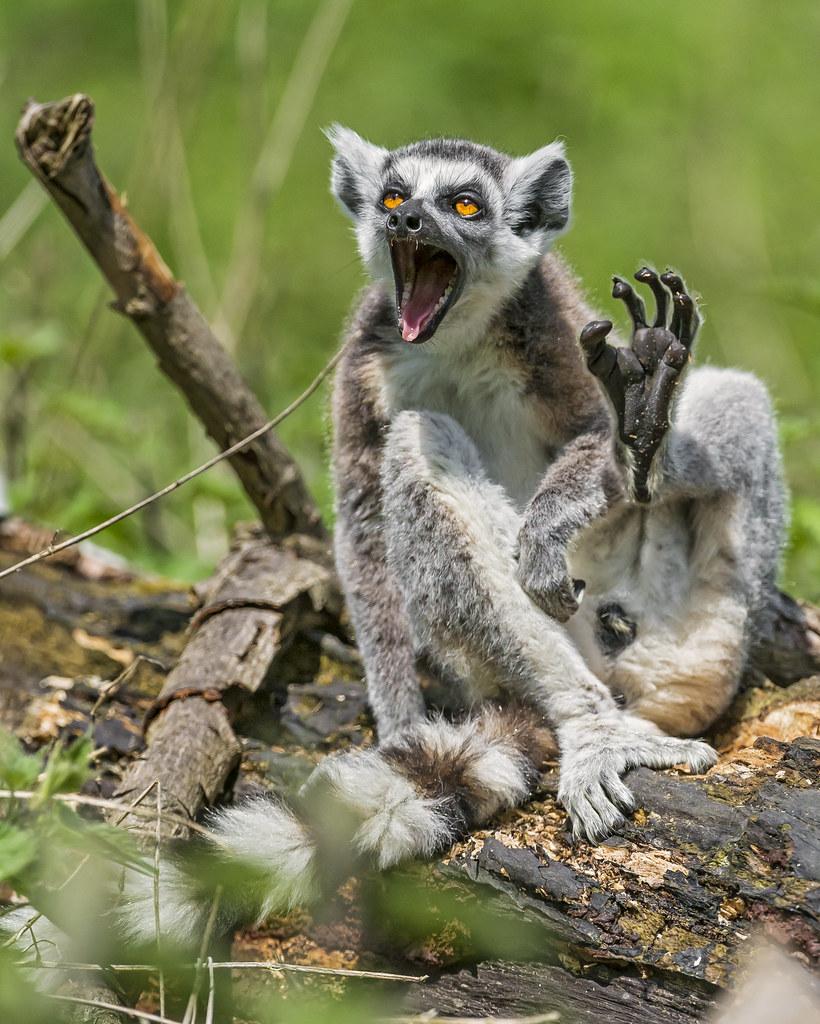 Singing Lemur A Male Lemur In A Funny Position