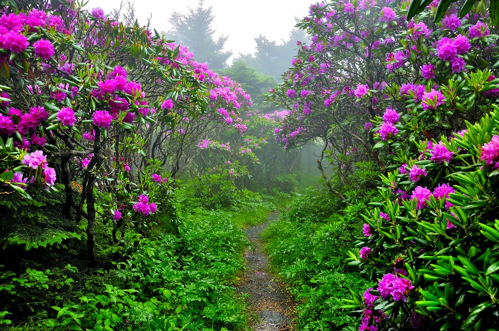 Image result for rhododendron tunnel in smoky mountains