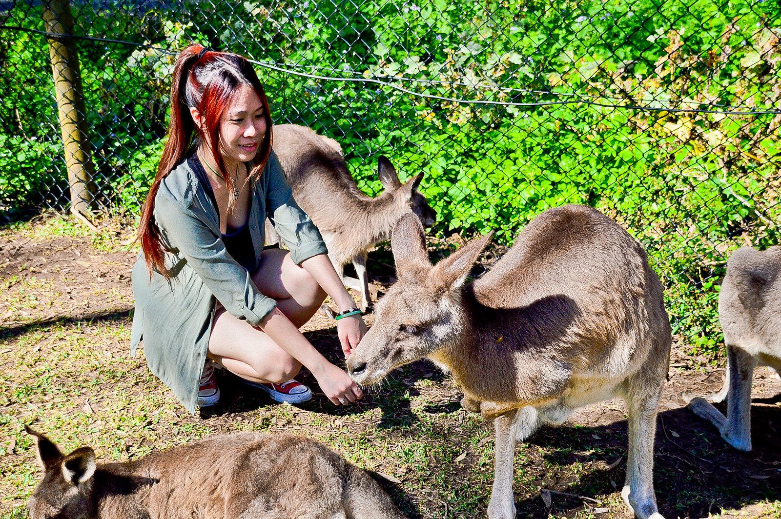 Currumbin Wildlife Sanctuary Kangaroos