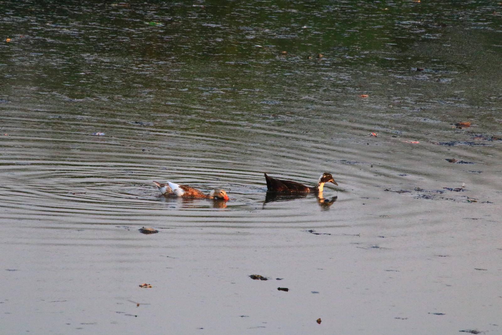 Ducks/geese?