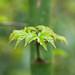 110404_091_Acer palmatum 'Shishigashira'.jpg