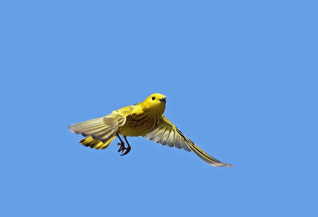 yellow warbler flying