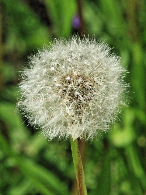 Dandelion seed head 20150513
