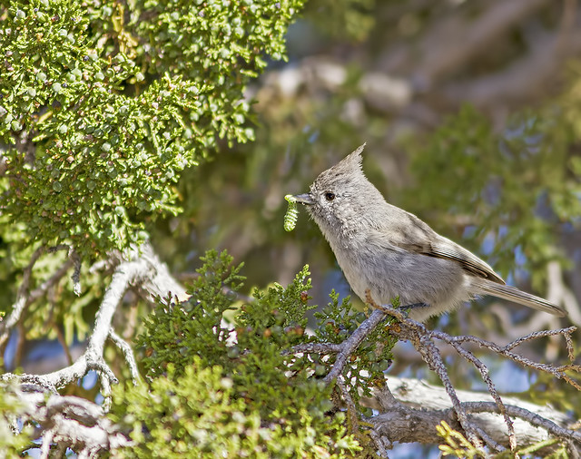 Juniper Titmouse 2 7d_1873