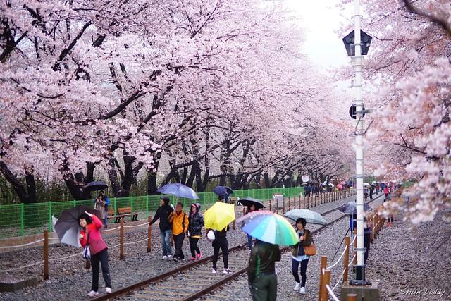 Sakura Rail