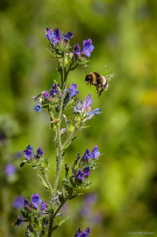 Un abejorro en maniobra de aproximación