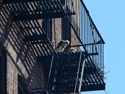 Hawk Nestlings - 1460